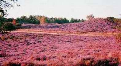 Heather Clad - Sullington Warren