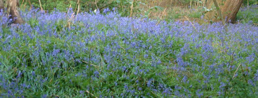 Bluebells, Sandgate Park