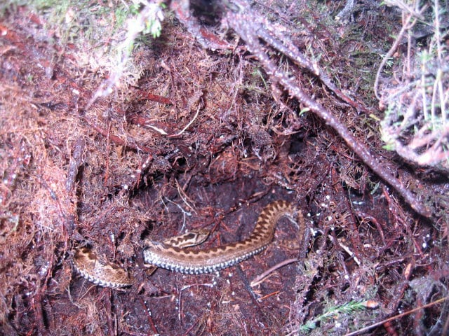 Adder amongst heather roots