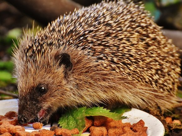 Hedgehog feeding
